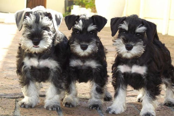 Schnauzer adoption cape town